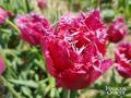 2.-kwiaty-Magiczne-Ogrody-Nowa-odmiana-tulipana-Magiczne-Ogrody-1