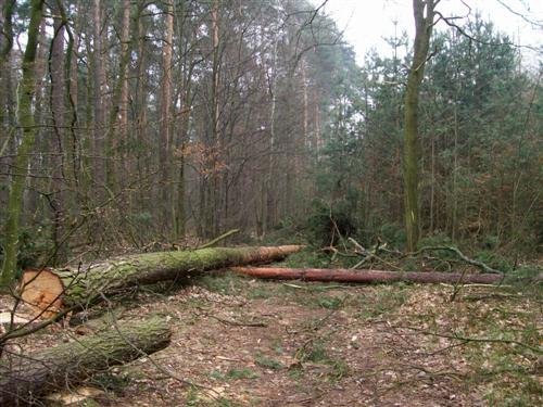 Odpowiedzą za wyrąb i kradzież drzewa