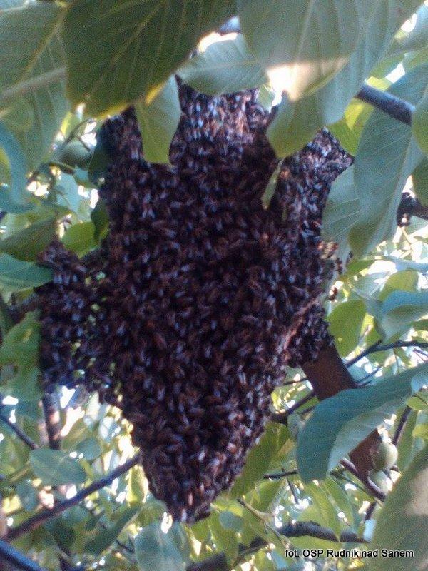 Strażacy usuwali rój pszczół