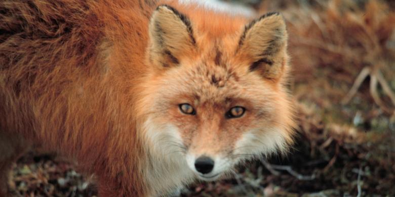Znów zaszczepią lisy