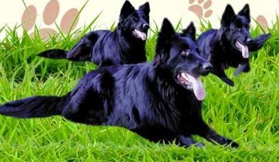 W Rudniku odbędzie się wystawa psów rasowych
