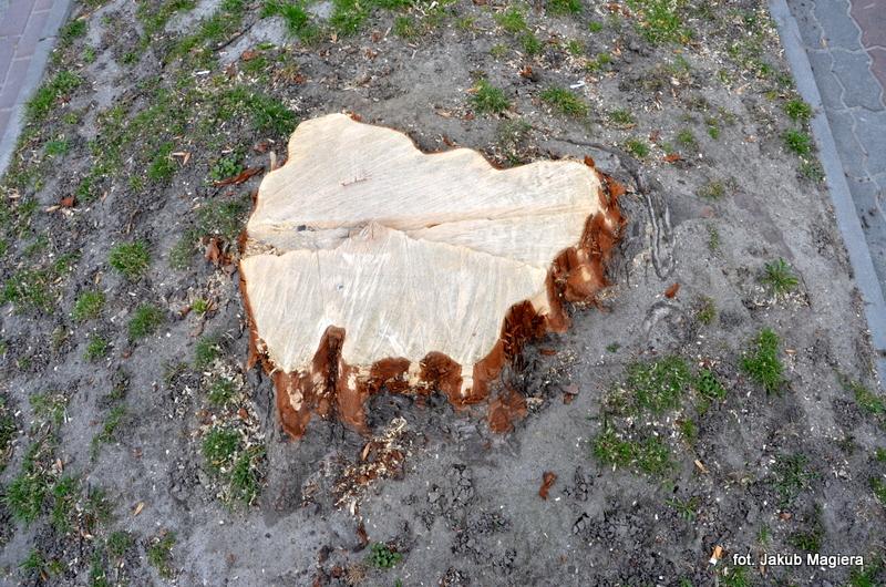 Leżajszczanie oburzeni wycinką i ogławianiem drzew