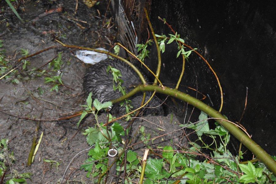 Policjanci wydostali z wnyków rannego bobra