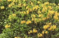 Kwitnie azalia pontyjska