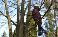 Wiklinowe ptaki latają nad Rudnikiem